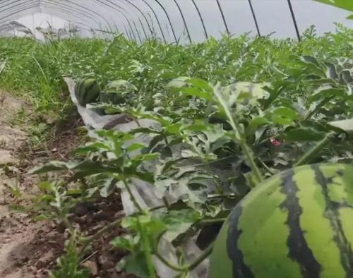 高品质大棚西瓜全程施肥方案