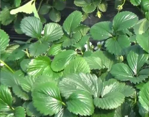 海帝拉克大量元素— 草莓篇