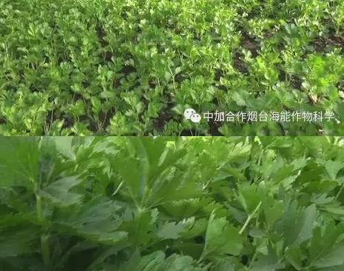经济大棚蔬菜篇(六)水芹菜