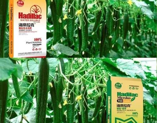 经济大棚蔬菜篇(三)黄瓜